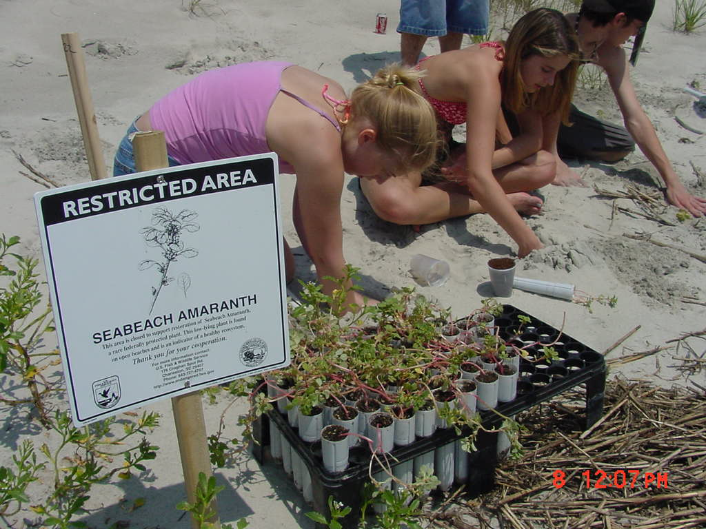 Students from Waccamaw High School restore seabeach amaranth in Murrells Inlet