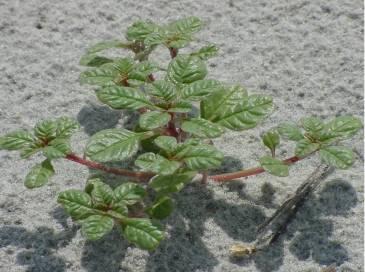 amaranth pic1
